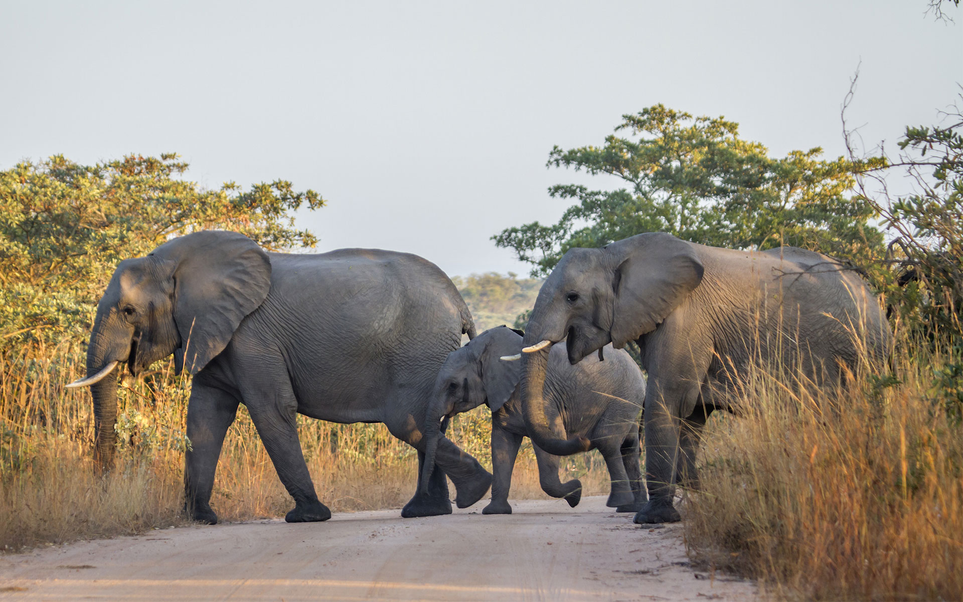 Savanna Safaris Elephants