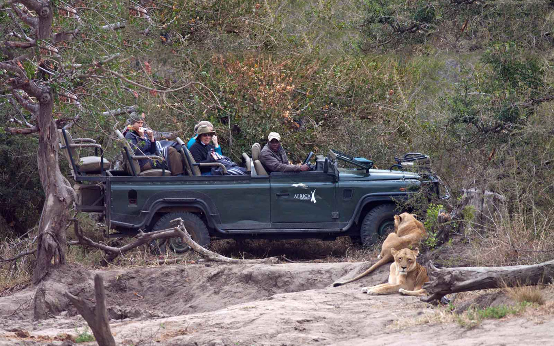 Savanna Safaris Lions by Vehicle