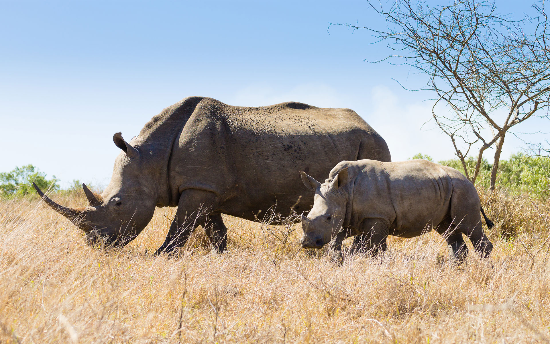 Savanna Safaris Mom and Baby Rhino